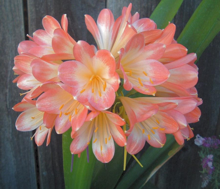 Photo of Thong Lily (Clivia miniata 'Solomone Watercolor Pink') uploaded by Strever
