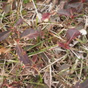 Location: TennesseeDate: 2012-01-29beginning to emerge and spread in the yard