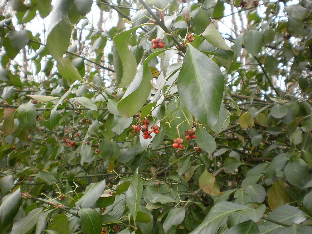 Photo of Winter Creeper (Euonymus fortunei) uploaded by SongofJoy