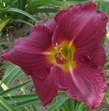 Photo of Daylily (Hemerocallis 'Charles Johnston') uploaded by vic