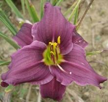 Photo of Daylily (Hemerocallis 'Grape Velvet') uploaded by vic