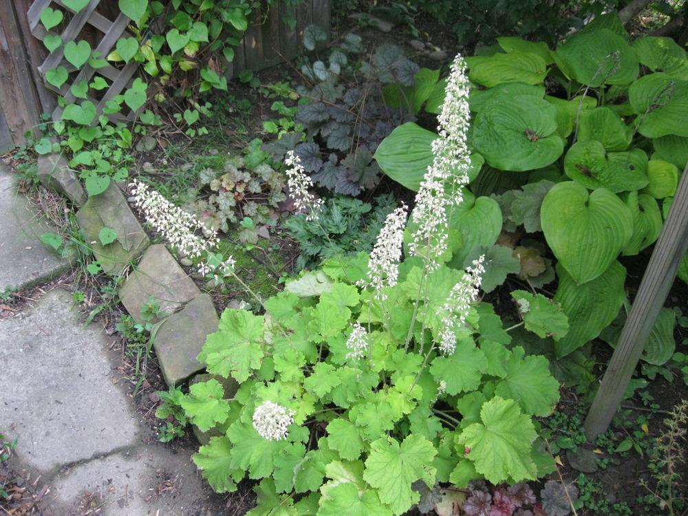 Photo of Coral Bells (Heuchera villosa 'Citronelle') uploaded by Carolyn22