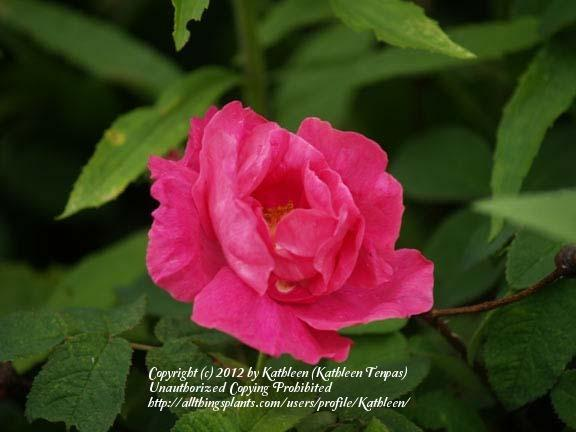 Photo of Rose (Rosa gallica 'Apothecary's Rose') uploaded by Kathleen