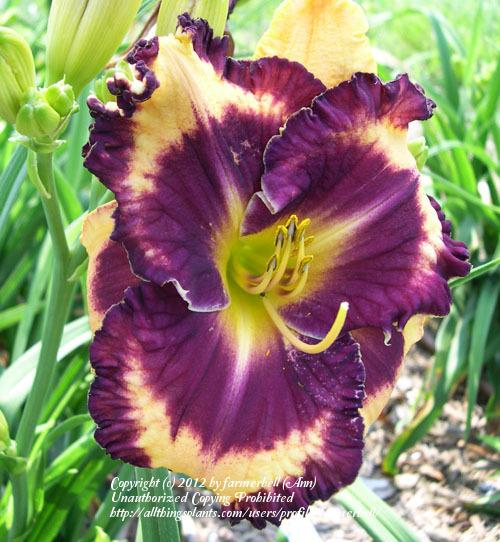 Photo of Daylily (Hemerocallis 'Tal of Gascone') uploaded by farmerbell