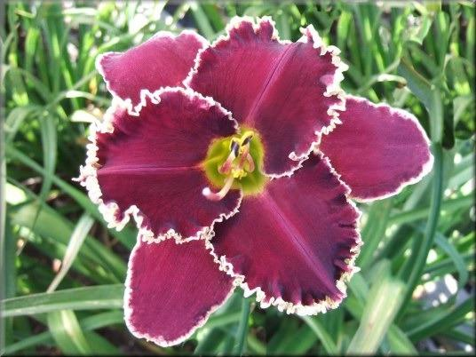 Photo of Daylily (Hemerocallis 'Northern Mecca') uploaded by vic