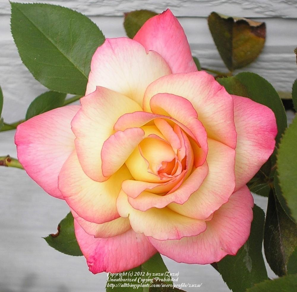 Photo of Rose (Rosa 'Operetta') uploaded by zuzu