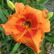 Photo courtesy of Thoroughbred Daylilies  Used with Per