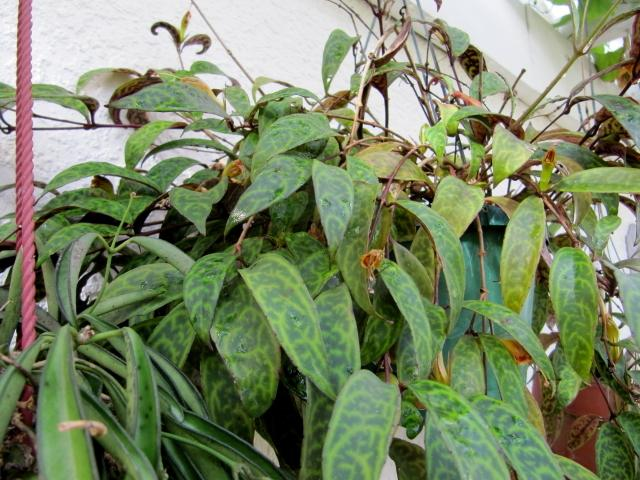 Photo Of The Entire Plant Of Lipstick Plant Aeschynanthus