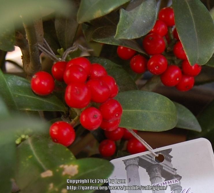 Photo of Japanese Skimmia (Skimmia japonica) uploaded by valleylynn