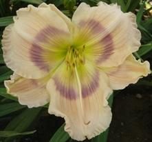 Photo of Daylily (Hemerocallis 'Priscilla's Rainbow') uploaded by vic