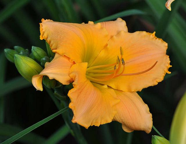 Photo of Daylily (Hemerocallis 'Vincero!') uploaded by Calif_Sue