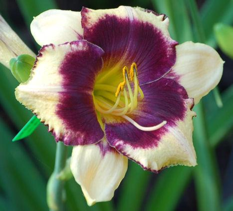 Photo of Daylily (Hemerocallis 'Hank Williams') uploaded by Calif_Sue