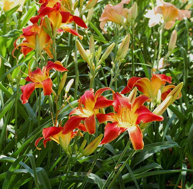 Photo of Daylily (Hemerocallis 'All American Chief') uploaded by Calif_Sue