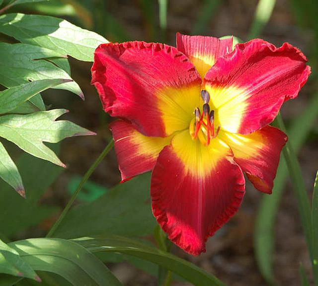Photo of Daylily (Hemerocallis 'Top of the Morning') uploaded by Calif_Sue