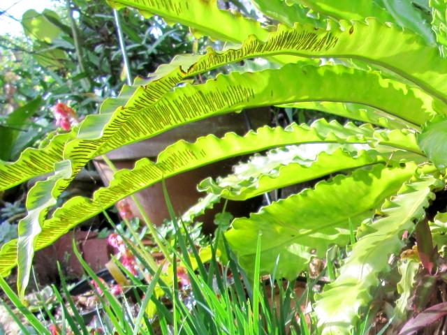 Photo of Bird's Nest Fern (Asplenium nidus) uploaded by GoneTropical