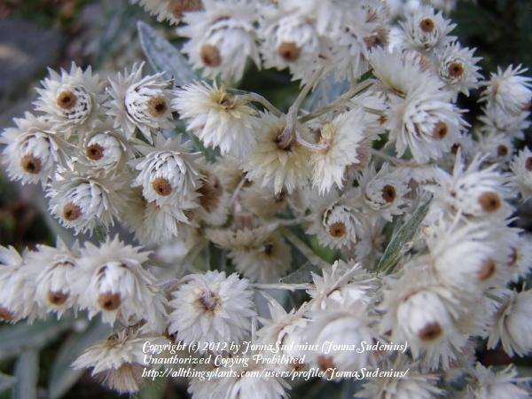 Photo of Pearly Everlasting (Anaphalis triplinervis) uploaded by JonnaSudenius