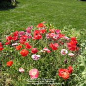 Location: My Cincinnati, Ohio gardenDate: Early summer, 2006Flanders and Shirley poppies