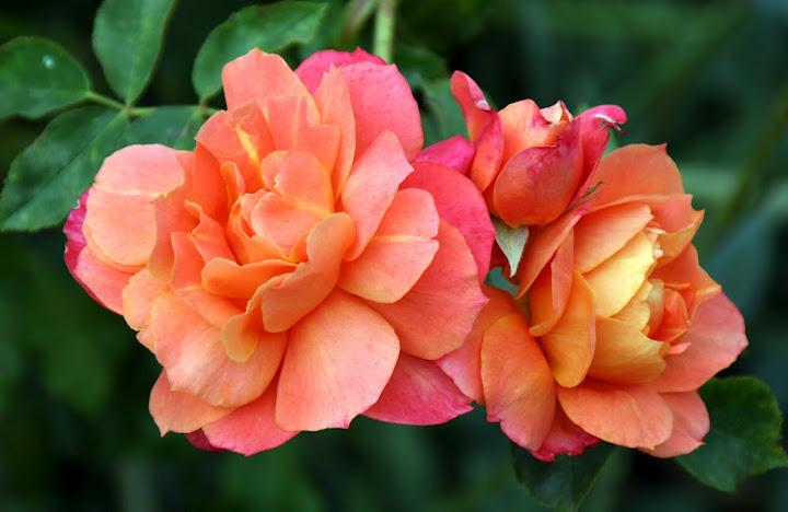 Photo of Rose (Rosa 'Disneyland Rose') uploaded by Calif_Sue