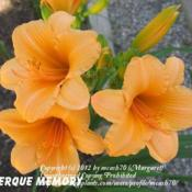 Location: BX Creek DayliliesPhoto by Gail Morgan of BX Creek Daylilies. Used with p