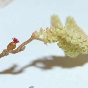 Red female flower with male flowers (catkins)