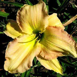 Photo of Daylily (Hemerocallis 'Cameron Quantz') uploaded by vic