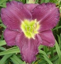 Photo of Daylily (Hemerocallis 'Woodside Rhapsody') uploaded by vic