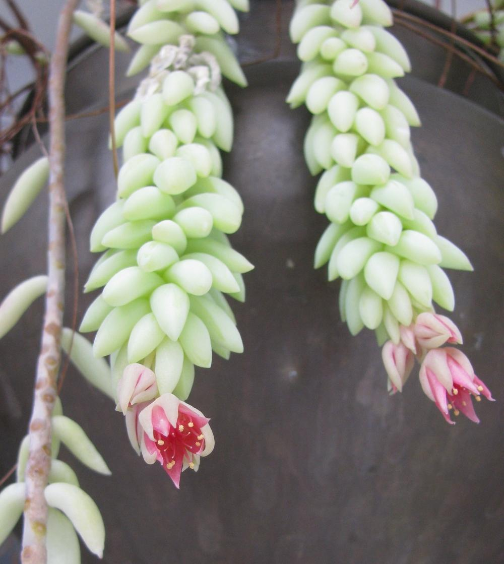Photo of Burro's Tail (Sedum morganianum) uploaded by Dutchlady1