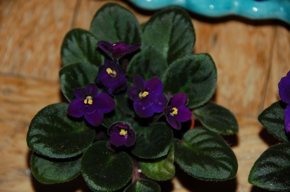 Photo of African Violets (Saintpaulia) uploaded by LorettaNJ