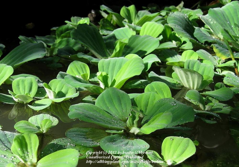 Photo of Water Lettuce (Pistia stratiotes) uploaded by bonitin