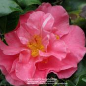 Location: Daytona Beach, FloridaDate: 2012-02-07 Unknown Camellia sasanqua