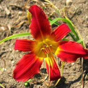 Photo of Daylily (Hemerocallis 'Finest Hour') uploaded by vic