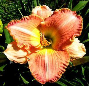Photo of Daylily (Hemerocallis 'Doma Knaresborough') uploaded by vic