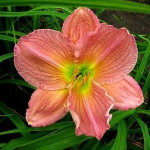 Photo of Daylily (Hemerocallis 'Edna Lankart') uploaded by vic