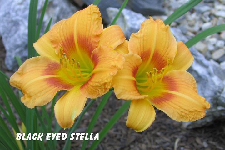 Photo of Daylily (Hemerocallis 'Black Eyed Stella') uploaded by mcash70