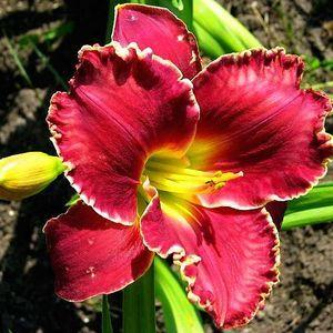 Photo of Daylily (Hemerocallis 'Pagan Ritual') uploaded by vic