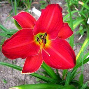 Photo Courtesy of Smokeys Daylily Gardens Used with Permission