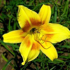Photo of Daylily (Hemerocallis 'Minnie Morgan') uploaded by vic