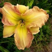 Photo Courtesy of Smokeys Daylily Gardens Used with