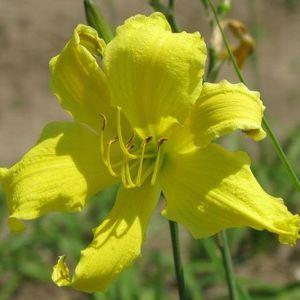 Photo of Daylily (Hemerocallis 'Itsy Bitsy Spider') uploaded by vic