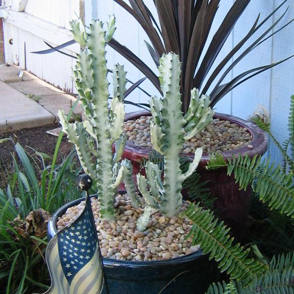 Photo of Euphorbia (Euphorbia lactea 'White Ghost') uploaded by GardenGuyAZ