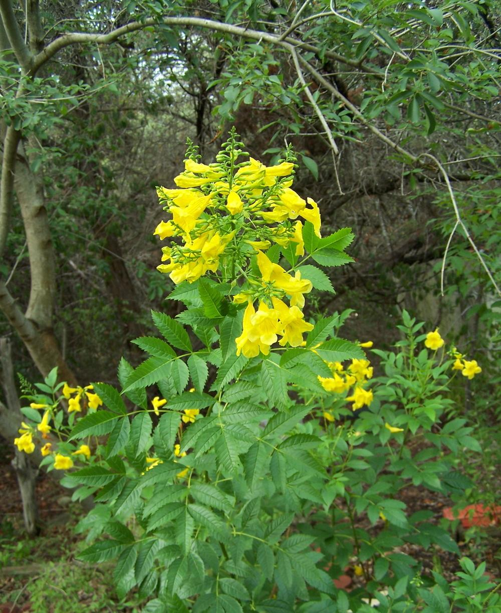Photo of Yellow Bells (Tecoma stans) uploaded by LindaTX8