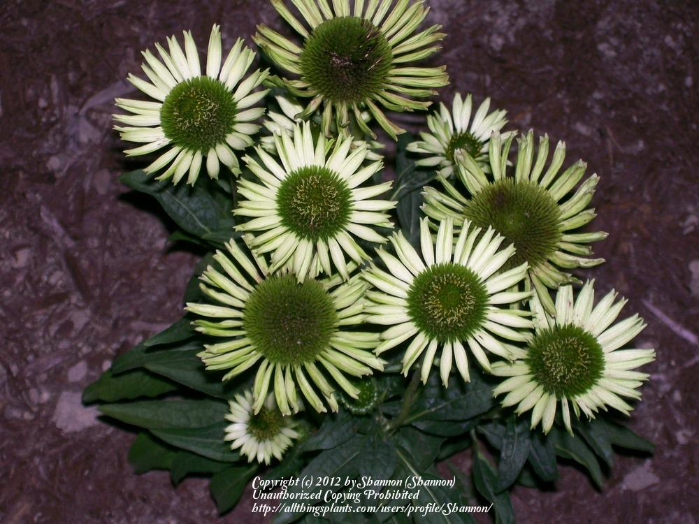 Photo of Coneflower (Echinacea 'Virgin') uploaded by Shannon