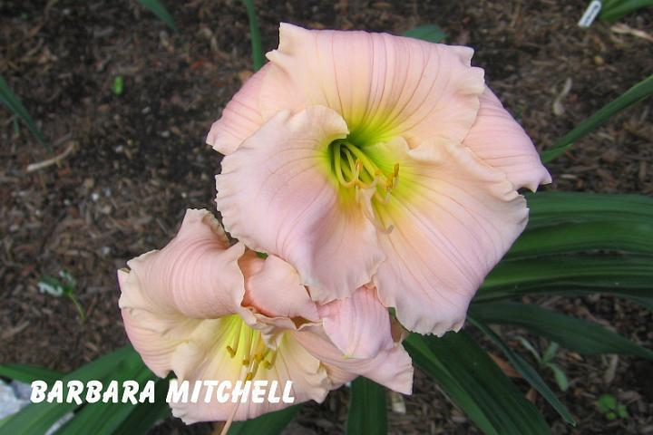 Photo of Daylily (Hemerocallis 'Barbara Mitchell') uploaded by mcash70