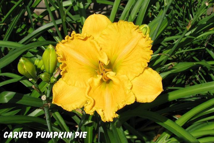 Photo of Daylily (Hemerocallis 'Carved Pumpkin Pie') uploaded by mcash70