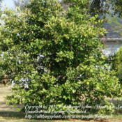 Location: zone 8/9 Lake City, Fl.Date: 2012-02-11orange tree - young