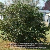 Location: zone 8/9 Lake City, Fl.Date: 2012-02-11Camellia