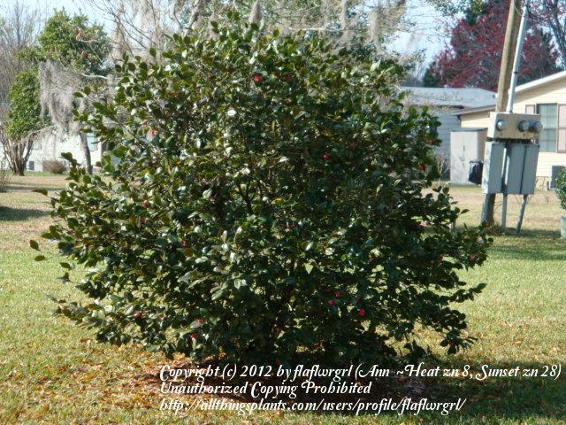 Photo of Camellias (Camellia) uploaded by flaflwrgrl