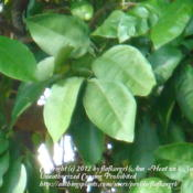 Location: zone 8/9 Lake City, Fl.Date: 2012-02-11grapefruit leaves