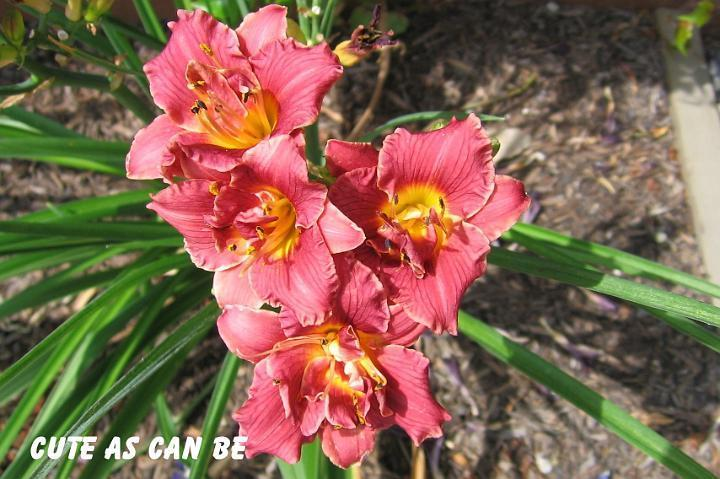 Photo of Daylily (Hemerocallis 'Cute As Can Be') uploaded by mcash70