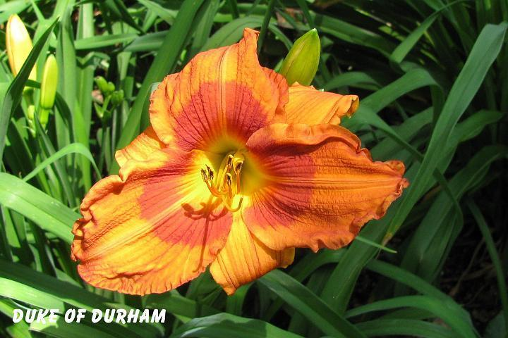 Photo of Daylily (Hemerocallis 'Duke of Durham') uploaded by mcash70
